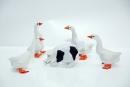 geese-pig